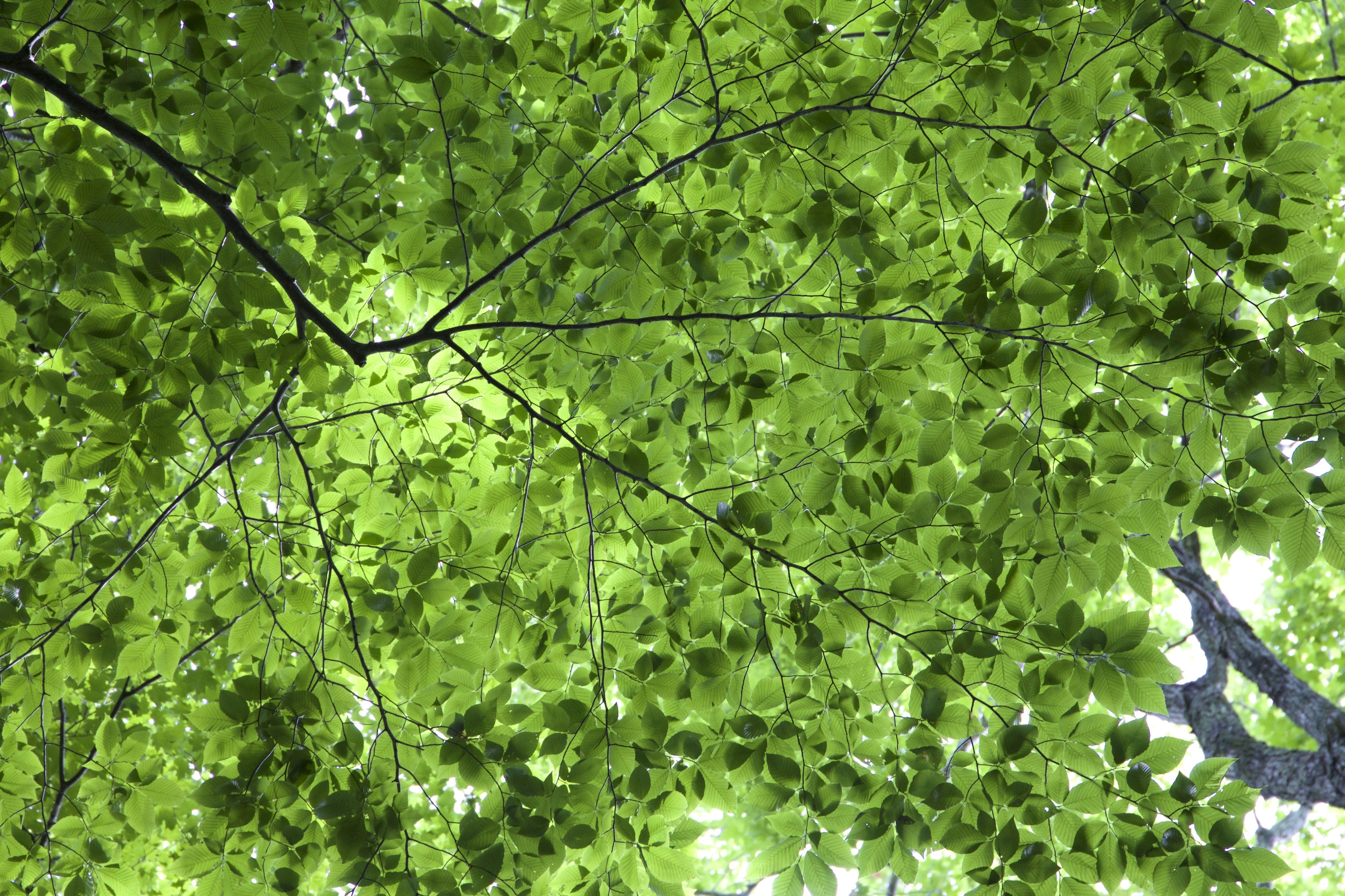 Imagen Gratis Textura De Las Hojas Hojas Verdes Follaje Arboles - Hojas-de-arboles