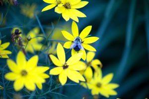 honey bee, insect, bee, macro, yellowish petals, summer