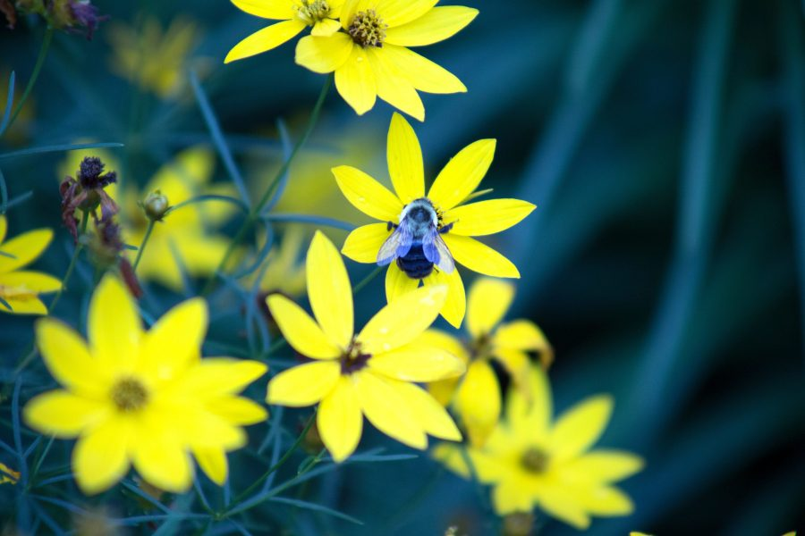 honningbie, insekt, bee, makro, gulaktig petals, sommer