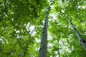 arbres bouleau, forêt de bouleaux, bouleau, feuilles vertes