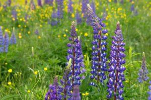 purple wild flowers, wild lupine flowers, tall grass