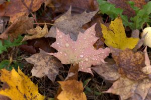 dew drops, water drops, rain, nature, fall, autumn, foliage, leaves, water