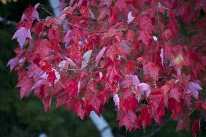 rödaktiga blad, röda blad, träd,, hösten, lövverk, höst, löv, träd