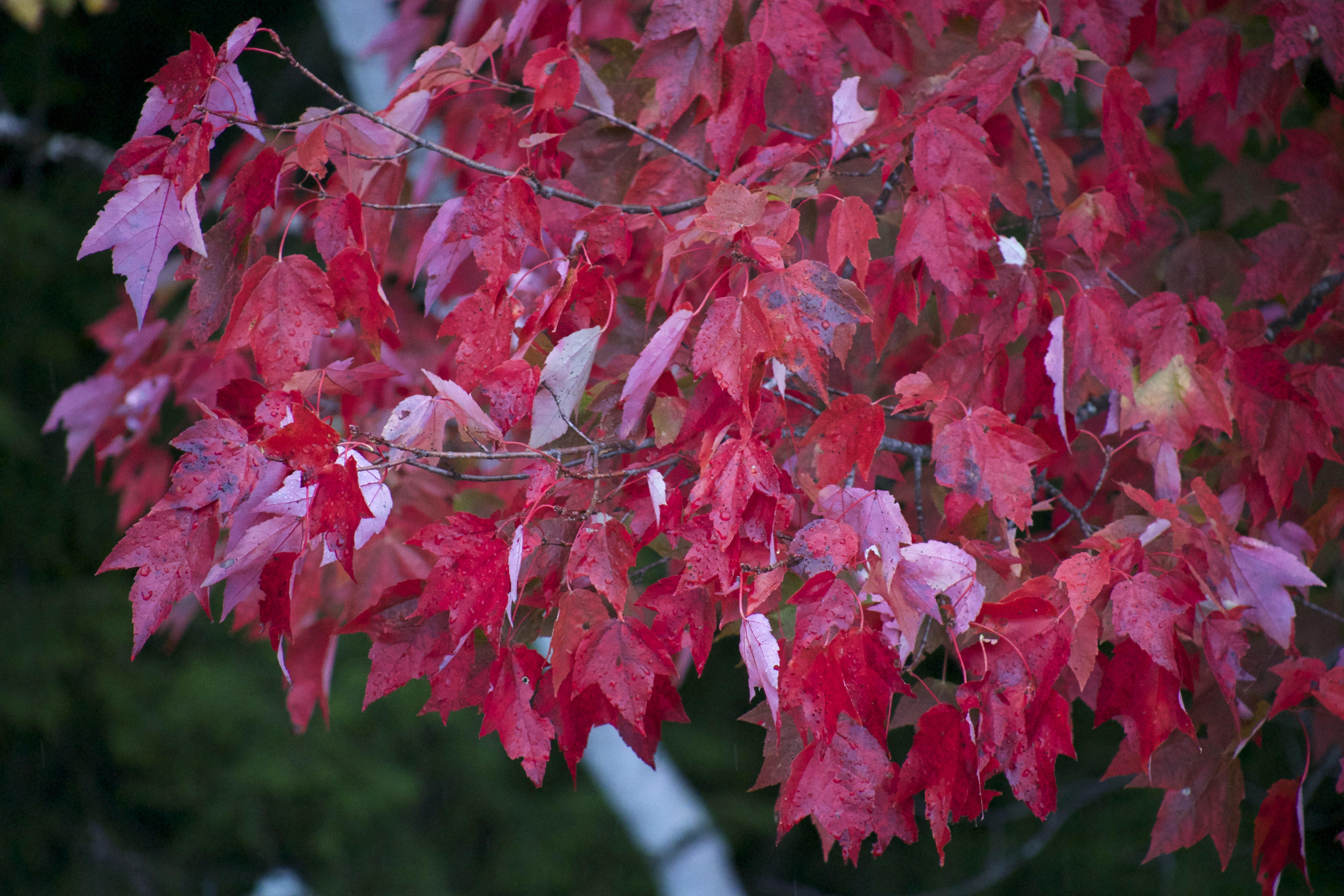 image libre: feuilles rougeâtres, feuille rouge, arbre ,, automne