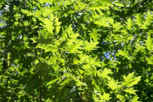 green leaves, texture, nature, leaves, trees, summer