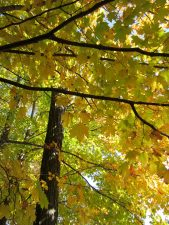 yellow leaves, foliage, autumn, leaves, trees