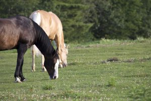 two horses, domestic animals, farm animals, field, animals, horse, grass
