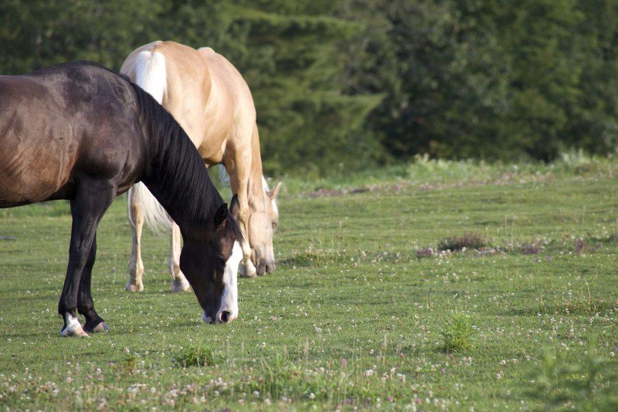 dwa konie, zwierzęta domowe, zwierzęta gospodarskie, pola, zwierząt, koń, trawa