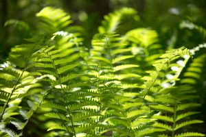 fern leaves, green fern plants, forest, woods