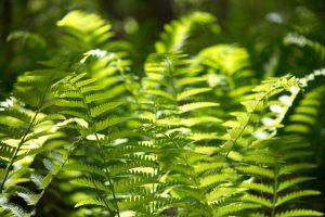 foglie di felce, piante felce verdi, foreste, boschi