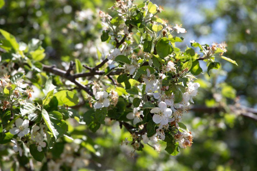 kvitnúcej strom, jar, príroda, kvety, stromy