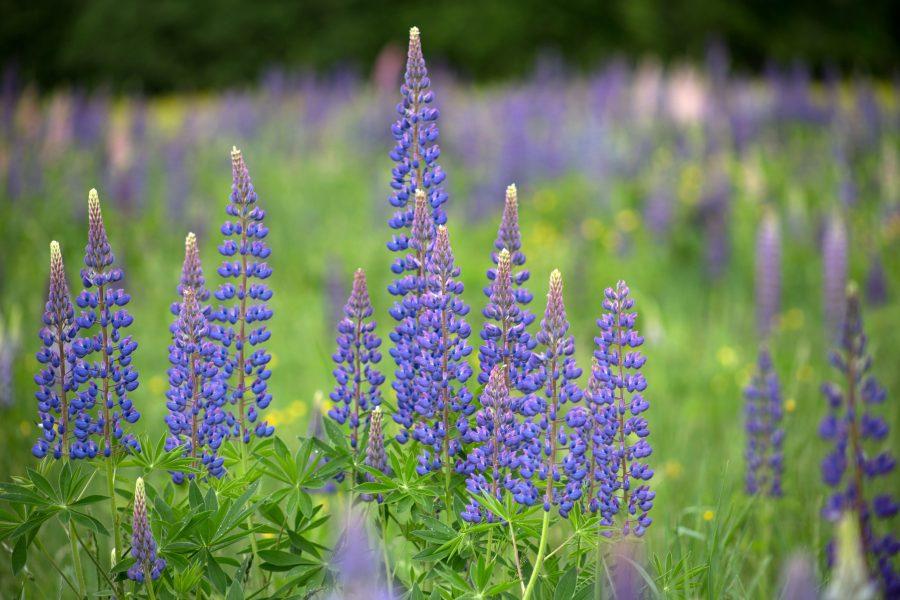 ดอกไม้ lupine, lupine สีม่วง ธรรมชาติ ฤดูร้อน