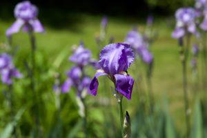 Wiesen, mit lila Blumen, Sommer, Blütenblätter