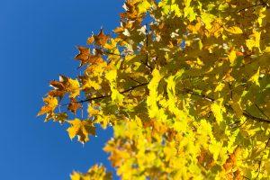 blue sky, autumn, foliage, leaves, trees, sky
