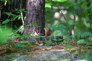 squirrel, animal, leaves, chipmunk, animals, trees