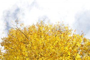 hemel, gele bladeren, bomen, wolken
