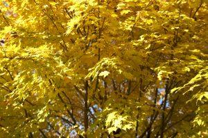 foglie gialle, alberi, foglie, caduta, fogliame, autunno