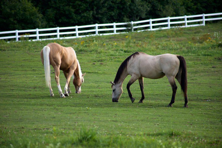 Lipizzaner Pferde grasen, Tiere, grünes Gras, Pferd