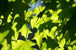 foglie verdi, trama, foglia, natura, foglie, luce del sole
