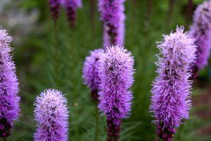 fialové plátky, fialové kvety, farebné, letný čas, flóra, vysoká tráva, kvety, leto