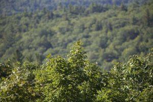 groene bladeren, groene bomen, bladeren