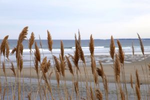 reed plant, reed grass, ocean, seacoast, water, sand, beach
