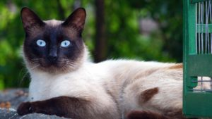 cat, pet portrait, kitten, animal, blue eyes