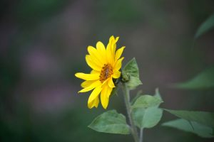 small sunflower, wild sunflower, yellow petals, orange flower