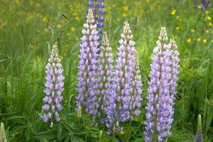 lila Lupinen Blumen, grünes Gras