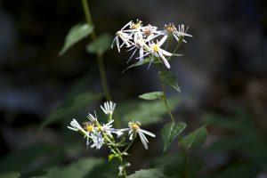 bunga-bunga kecil, putih, tanaman, daun