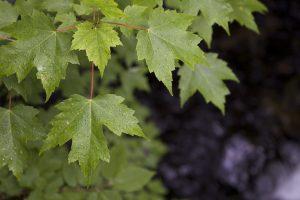 dew drops, water drops, green leaves, leaves, water