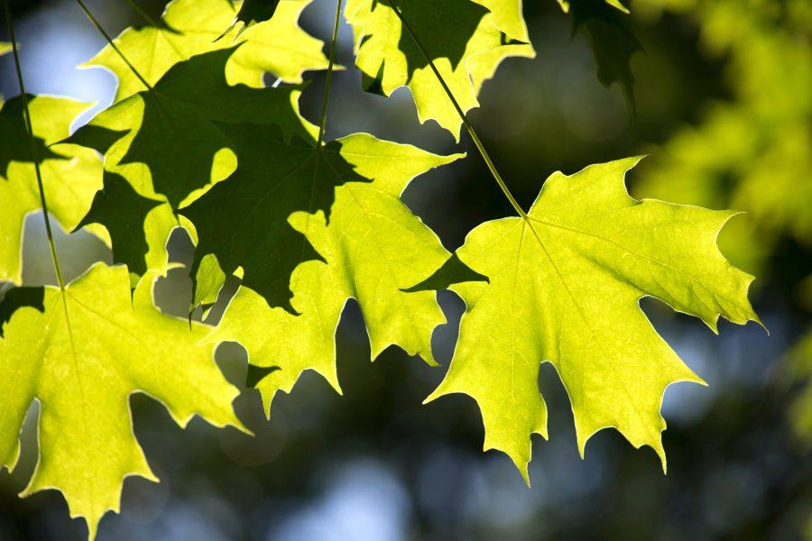 feuille, feuilles vertes, le soleil, la nature, les feuilles, les arbres, l'été