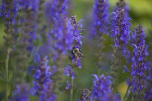 μέλισσα, έντομο, μωβ άγρια λουλούδια, λουλούδια, λουλούδια, καλοκαίρι