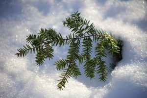 snovy leaves, pine tree, pine leaf, winter, snow
