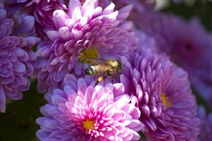 honey bee, insect, macro, pink flowers, flowers, bee, summer