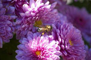 honey bee, insect, macro, pink flowers, flowers, bee, summer