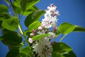 syringa flower, syringa petasls