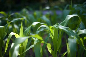 corn leaves, corn field, garden, close-up, flora, rocks, trees