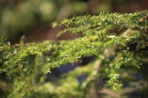 close up leaves, pine tree leaf, green leaves, summer time, trees
