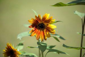 orange flowers, reddish petals, yellowish nectar, flora, blooming, flowers, garden