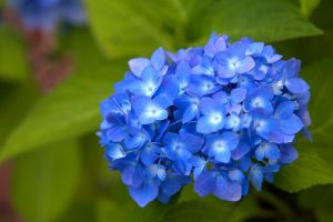 hydrangea flowers, blue petals, large green leaves, flora