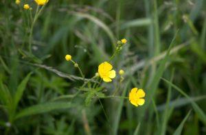 žućkastim cvjetovima, visoka zelena trava, prirode, cvijeće, trava, ljeto