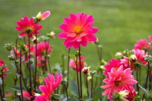flores de color rosa, grandes pétalos de flores, néctar, flores, verano