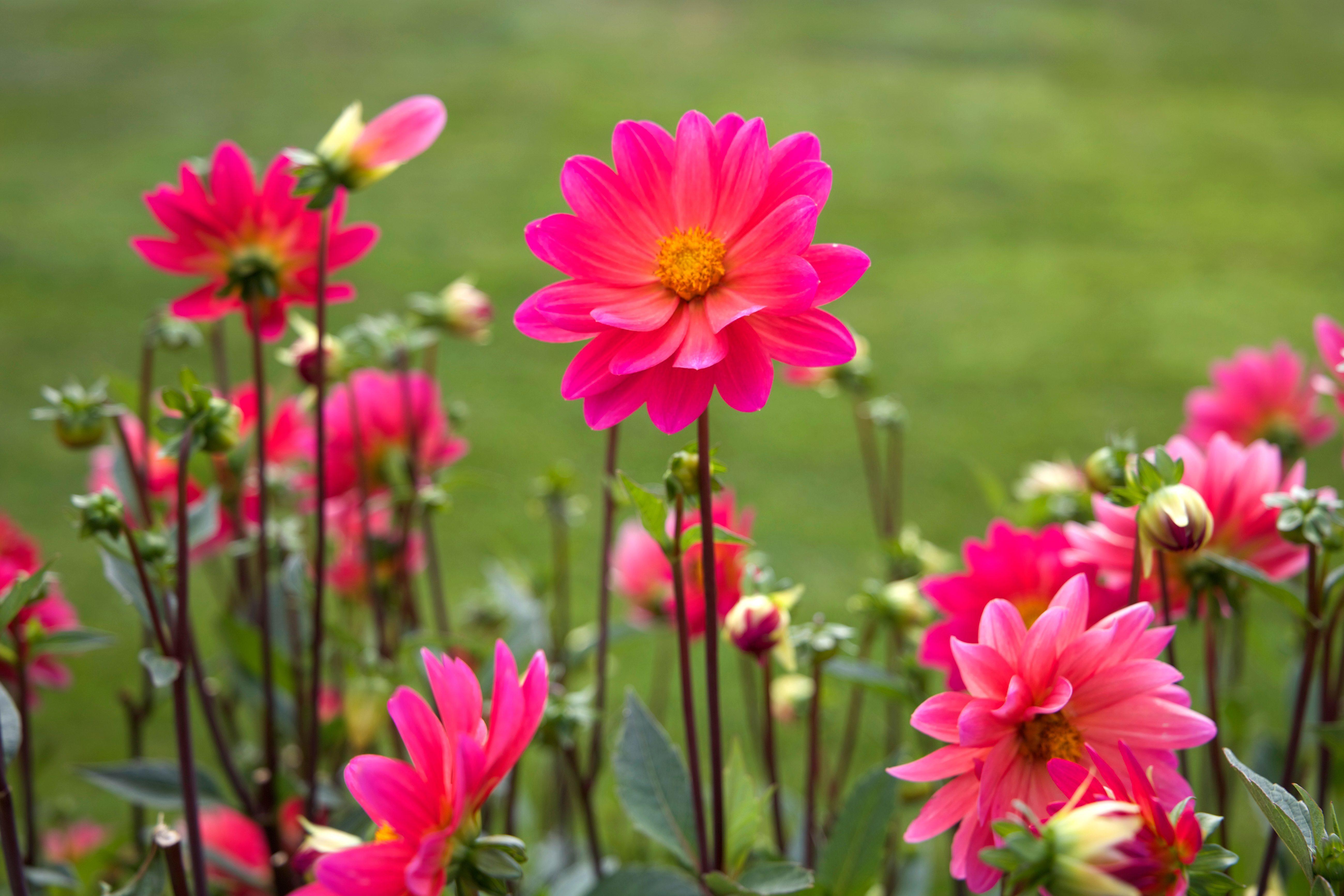 kostenlose bild rosa blumen gro e bl ten nektar blumen blumen sommer. Black Bedroom Furniture Sets. Home Design Ideas