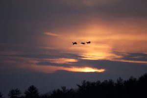 birds flying, sunset time, birds, sunset, clouds, trees