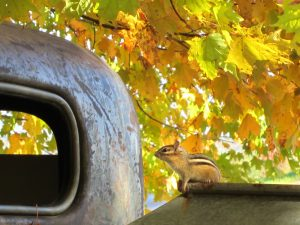 cute animal, foliage, fall, autumn, truck, chipmunk