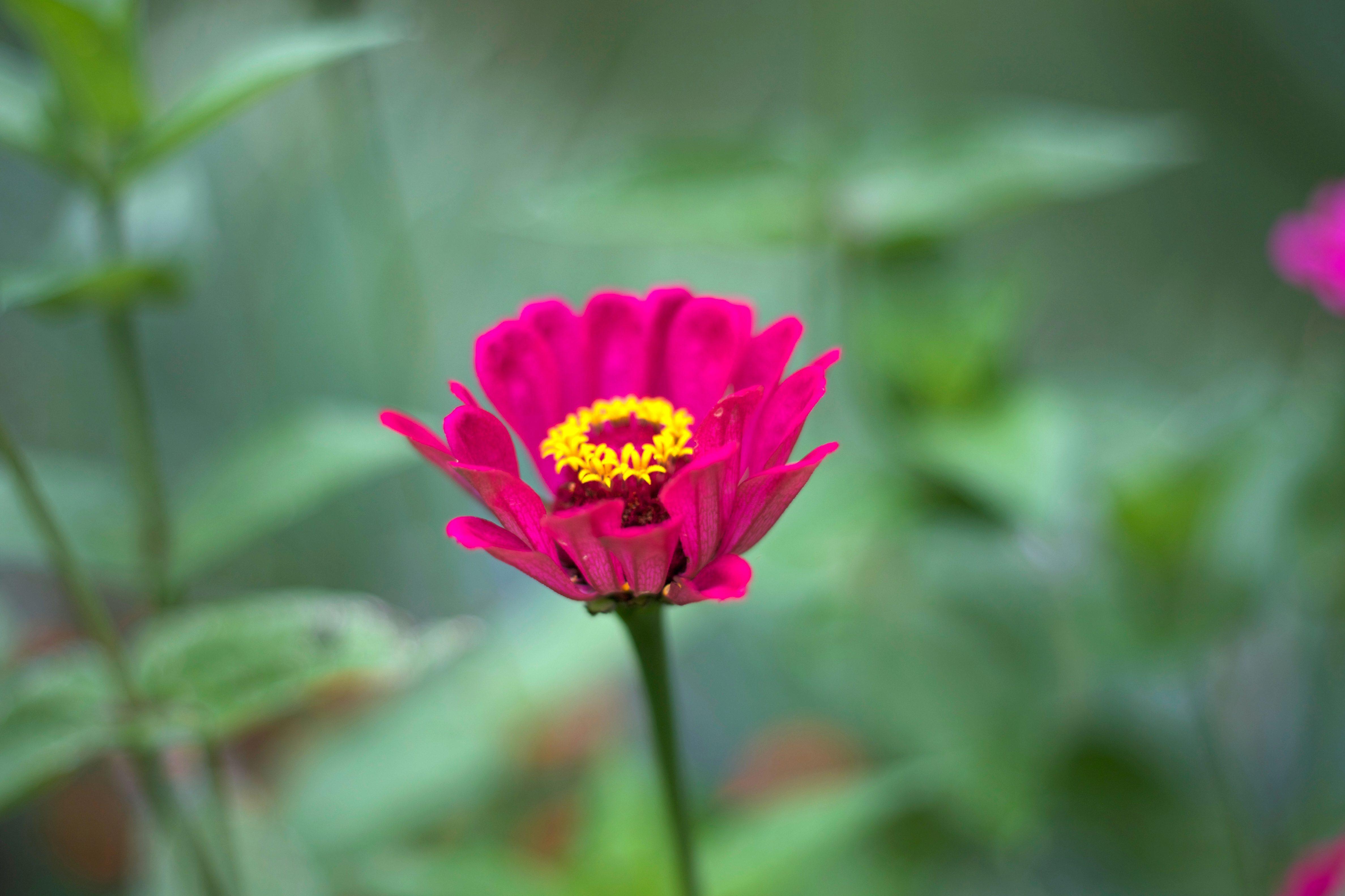 Free Picture Yellow Flower Nectar Pinkish Flower