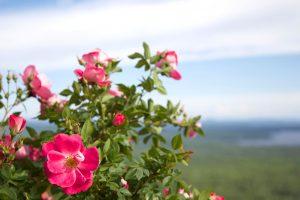 wild rose petals, wild rose, pinkish flowers, green leaves, thorns, flora