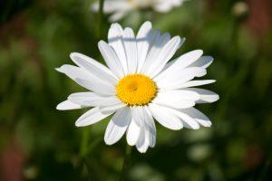 white flower, petals, white, wild flower, nature, flower, summer