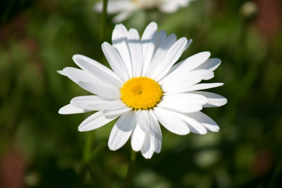 Kostenlose Bild Weiße Blume Blütenblätter Weiß Wilde Blume